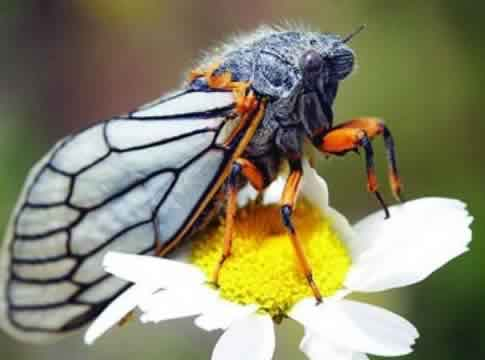 Ağustos böceği ne kadar yaşar ?