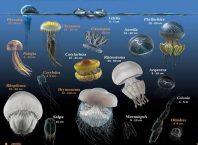 Deniz anaları nasıl ürer? -Türkiye'de Deniz anaları